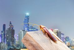Kakkerlakken die op het hout achter de stad worden gevangen Het concept het verhinderen van kakkerlakken stock fotografie