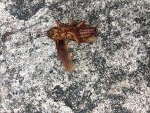 Kakkerlakken die volkomen liggen royalty-vrije stock fotografie
