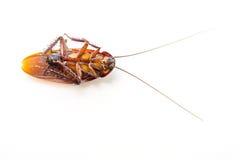 Kakkerlakken dood op witte achtergrond royalty-vrije stock foto's