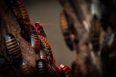Kakkerlakken op de boom in rood licht royalty-vrije stock foto