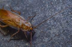 Kakkerlakken ter plaatse stock afbeelding