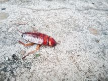 Kakkerlakkenmatrijs op de cementvloer na wordt geraakt door insecticide stock afbeelding