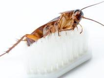 Kakkerlakkenstok op het uiteinde van een witte tandenborstel Royalty-vrije Stock Foto