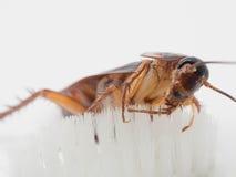 Kakkerlakkenstok op het uiteinde van een witte tandenborstel Stock Foto