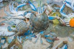 Kakor för blåa krabbor Arkivfoton