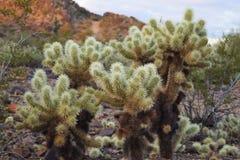Kakteen Arizonas Cholla Stockfotografie