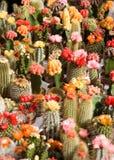 Kakteen auf Blumenmarkt Lizenzfreies Stockfoto