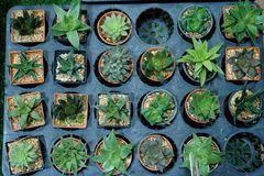 Kaktuns är en medlem av cactaceaen för växtfamiljen per familjen som består av omkring 127 släkten med någon 1750 bekant art av b royaltyfri bild