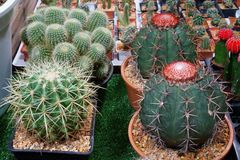 Kaktuns är en medlem av cactaceaen för växtfamiljen per familjen som består av omkring 127 släkten med någon 1750 bekant art av b arkivbild