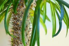 Kaktuns gömma i handflatan Fotografering för Bildbyråer
