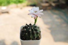 Kaktuns har vit- och rosa färgblomman Kaktus på den plast- krukan Tolerant växt för torka royaltyfri foto