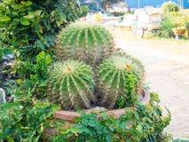 Kaktuns i en kruka, väljer fokusen Fotografering för Bildbyråer