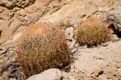 Kaktuns i rött vaggar kanjonen arkivfoton