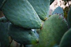Kaktuns med angenäm textur är fullvuxen under den ljusa Tenerife solen Royaltyfria Foton