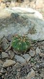 Kaktuns och vaggar Royaltyfria Bilder