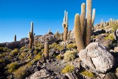 Kaktuns på den Incahuasi ön, saltar plana Salar de Uyuni, Altiplano arkivfoto