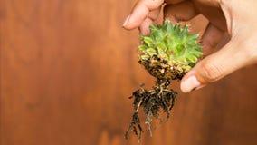 Kaktuns rotar med wood bakgrund Fotografering för Bildbyråer
