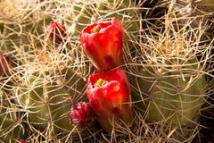 Kaktuns som blommar i April i rött, vaggar kanjonen arkivbild