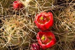 Kaktuns som blommar i rött, vaggar kanjonen royaltyfri foto