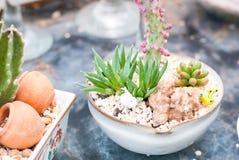 Kaktuns som planteras i den lilla gulliga krukan, är det färgrikt, naturskönhet Royaltyfri Foto