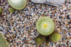 Kaktuns som in växer, vaggar säng, suckulent växt Arkivfoton