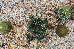 Kaktuns som in växer, vaggar säng, suckulent växt Fotografering för Bildbyråer