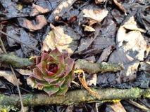 kaktuns steg Arkivfoto