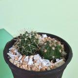 , kaktuns växer i sand och Melocactussp kaktus på den svarta plast- krukan Tolerant växt för torka royaltyfri foto