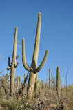 Kakturs i den Arizona öknen Royaltyfri Bild