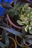 Kakturs och andra husväxter i krukor Sale av husväxter Royaltyfri Fotografi