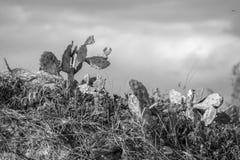 Kakturs på en dyn med svartvit effekt arkivfoto
