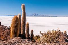 Kakturs på Isla Inca Huasi i Salar De Uyuni royaltyfria bilder