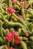 Kaktusów okwitnięcia Obraz Stock