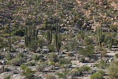 Kaktusów pola w Meksyk, Baj Kalifornia Obrazy Stock