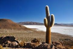 Kaktus över ett saltpan Royaltyfria Bilder