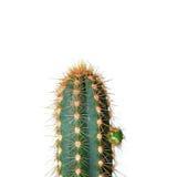 kaktus över white arkivfoton