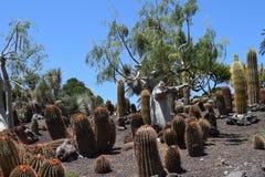 Kaktus, łaciński: Ferocactus pilosus, Meksyk Zdjęcie Stock
