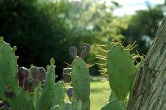 Kaktus 01 Obrazy Royalty Free
