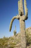 kaktus 1 pustyni Obrazy Stock