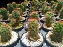 AÂ-Kaktus Lizenzfreie Stockbilder