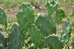 Kaktus Lizenzfreies Stockfoto