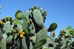 Kaktus 2 Stockbilder
