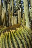 Kaktus Lizenzfreie Stockbilder