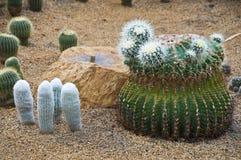 Kaktus. Lizenzfreies Stockbild