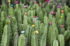 kaktus Obraz Royalty Free