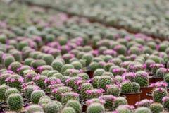 Kaktus. lizenzfreie stockfotos