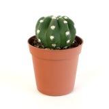 kaktus Obrazy Stock