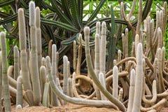 Kaktus 2 Stockfotografie