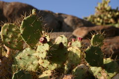 kaktus Royaltyfria Bilder