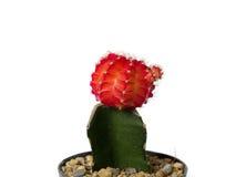 Kaktus Stockfoto
